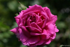 Купить розы питомник антипова выбор доставка цветов выбор